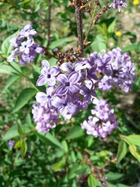 A close-up of purple lilac flowers growing on a lilac bush