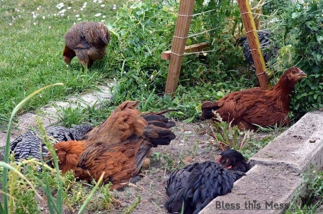 A group of brown and black chickens in a grassy garden