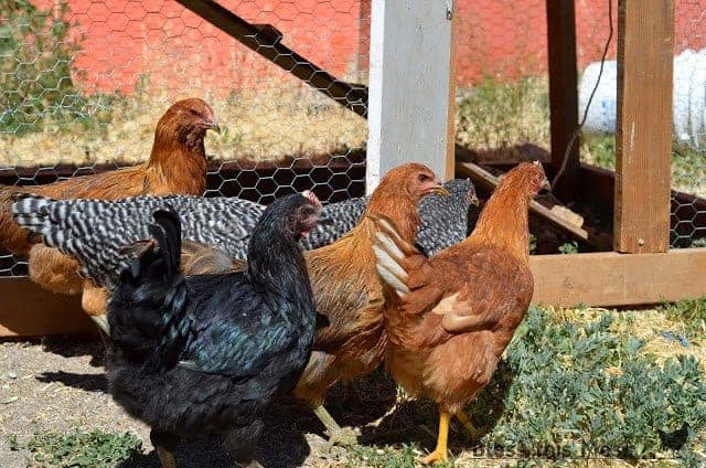 A group of five chickens in a fenced outdoor area