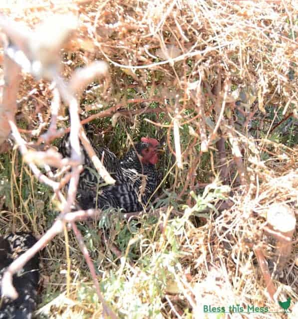 A black and white chicken with red head hiding under a pile of sticks and brush