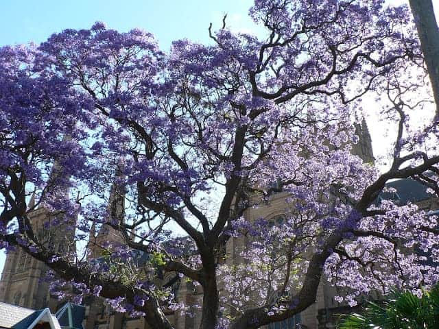 A flowering tree with purple flowers