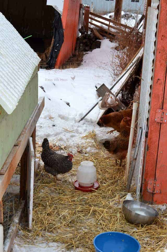 snow chickens1