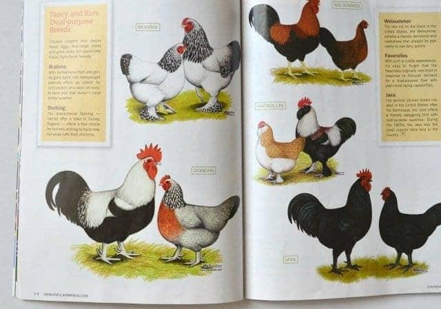 chicken mag