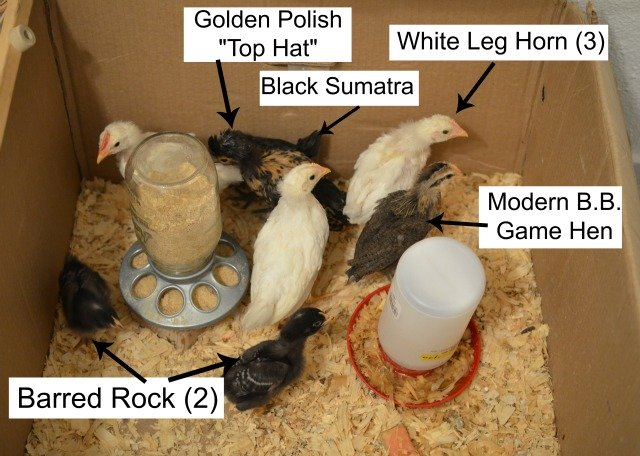 chick breed poster, chicken breed golden polish chick, white leg horn breed, barred rock breed chicks, Modern B.B. game hen chick