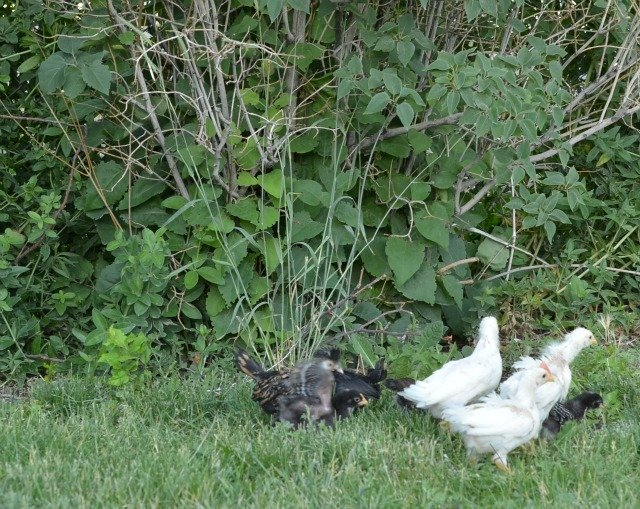 chicks in the yard