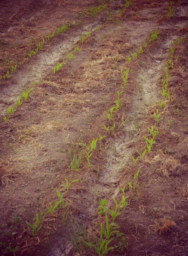 gardening tiny sweet corn