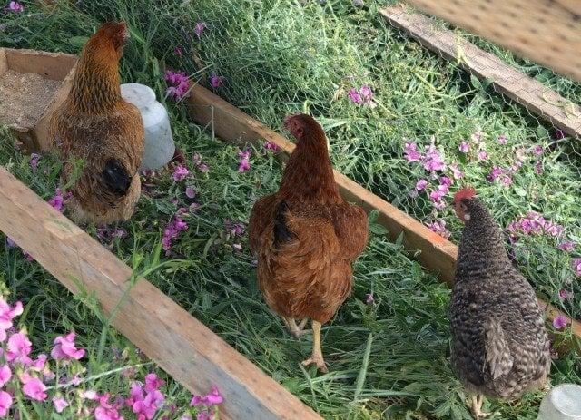 DIY chicken run with chickens