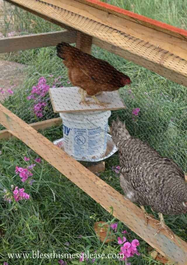 chicken feeder from bucket with top perch