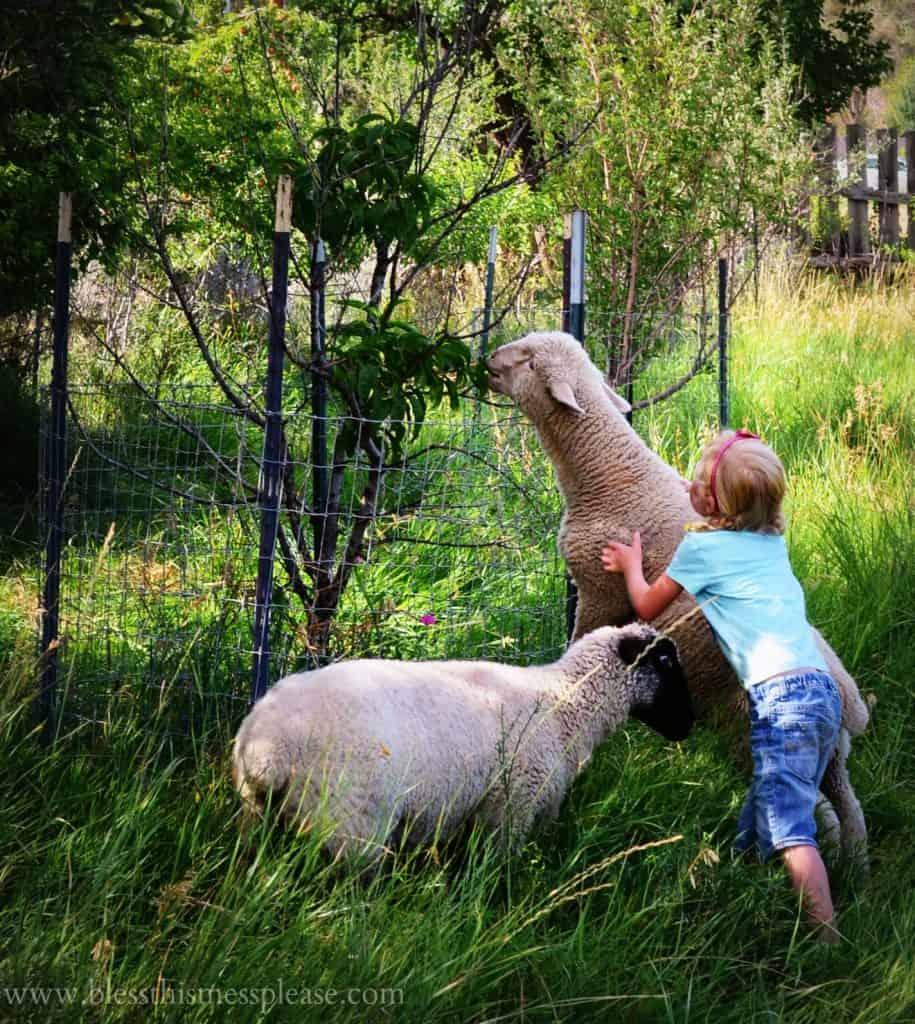 sheep eating peaches