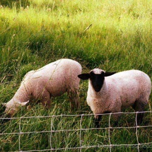 Can sheep eat sweet peas?