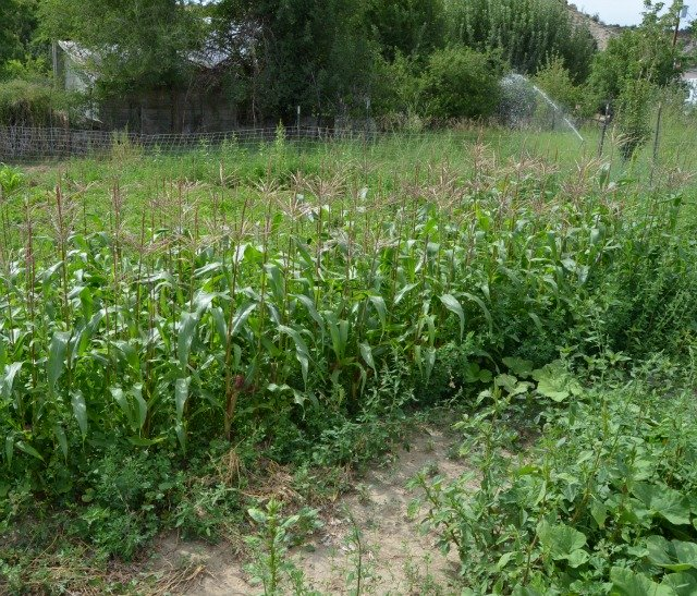 garden sweet corn