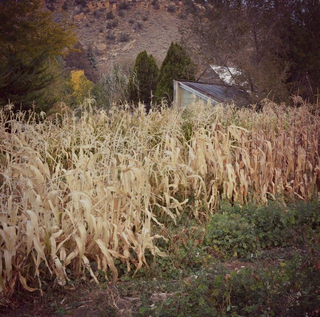 hobby farm corn stalks
