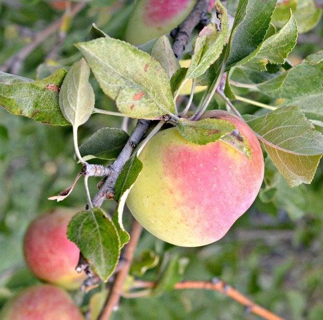 hobby farm golden delicious apple