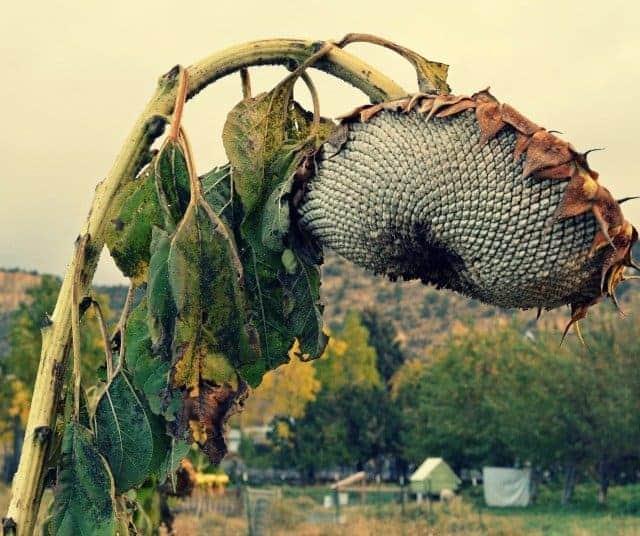 hobby farm sunflower