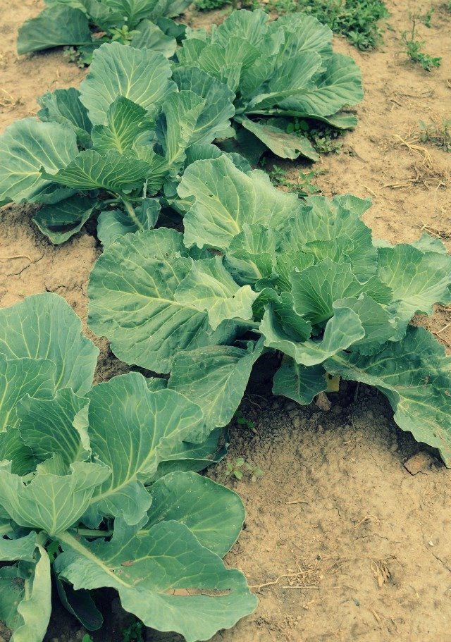hobby farm cabbages