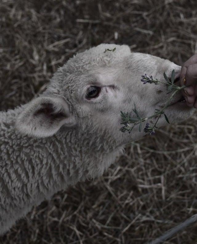 hobby farm lambs 1