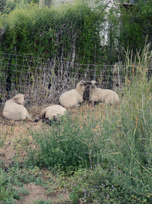 hobby farm sheep