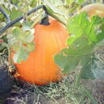 Pumpkin Fun Facts and Simple Recipes