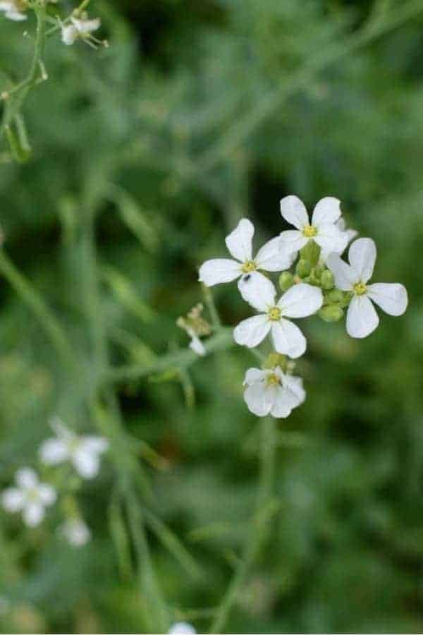 A close up of a cluster of white radish flowers on a plant