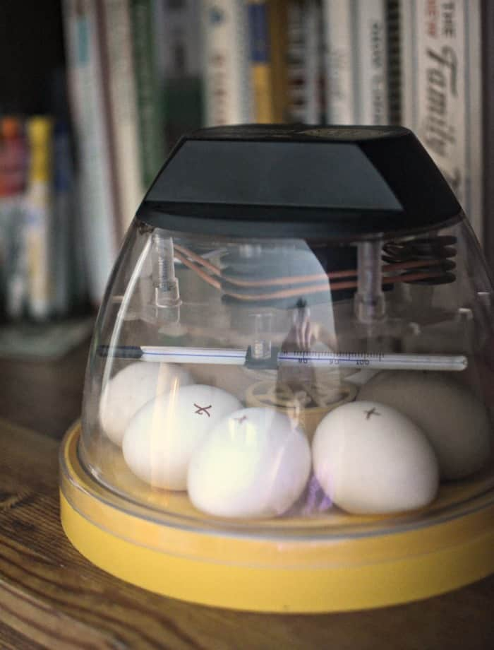 incubator eggs