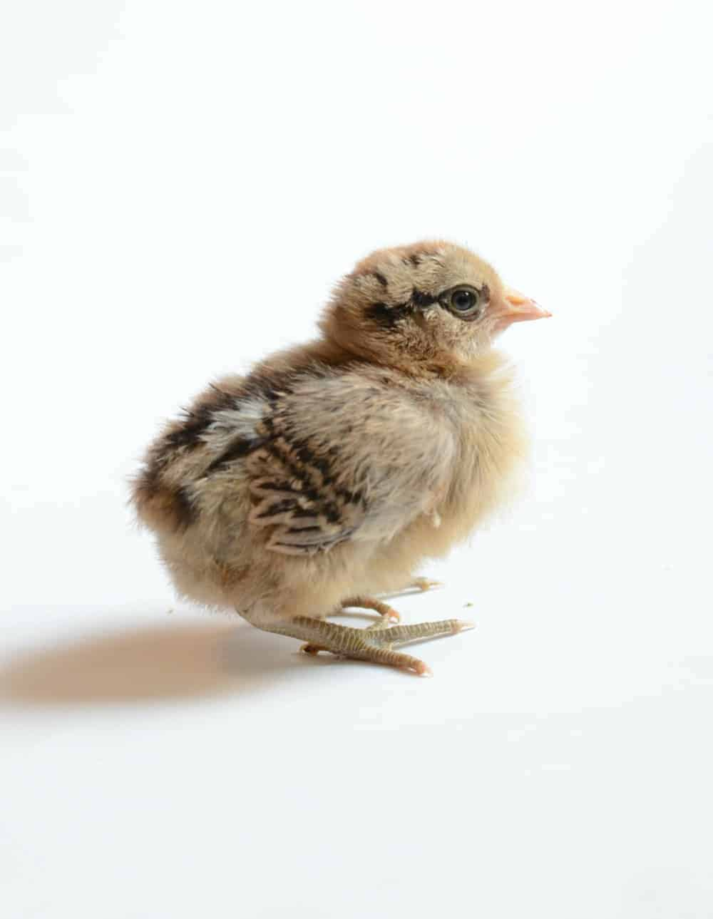 Things to know before bringing chicks home such as what is pasty butt, the best heat lamp, and how to raise nice chickens!