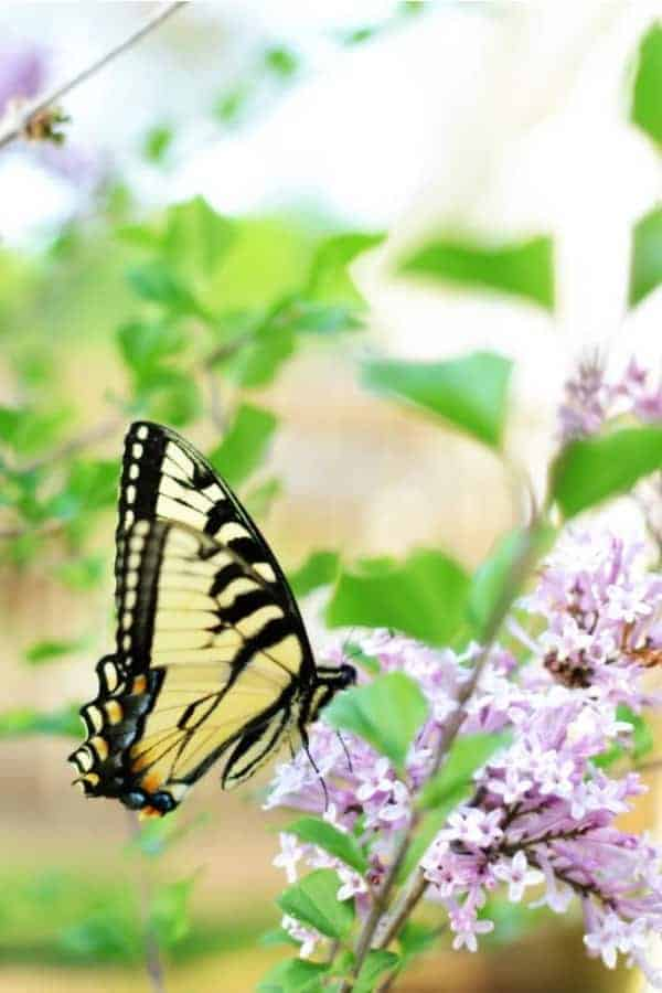 A black and yellow butterfly on a lilac branch with purple flowers
